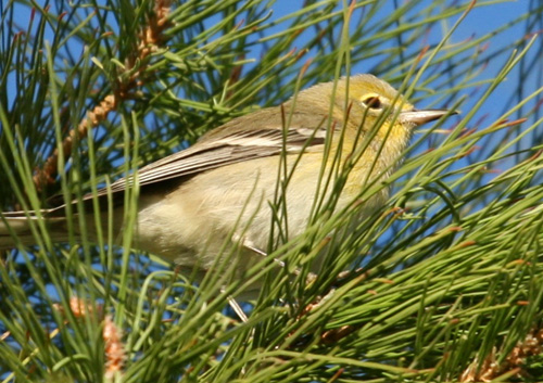 PineWarbler_at_Evergreen_LaurensHalsey