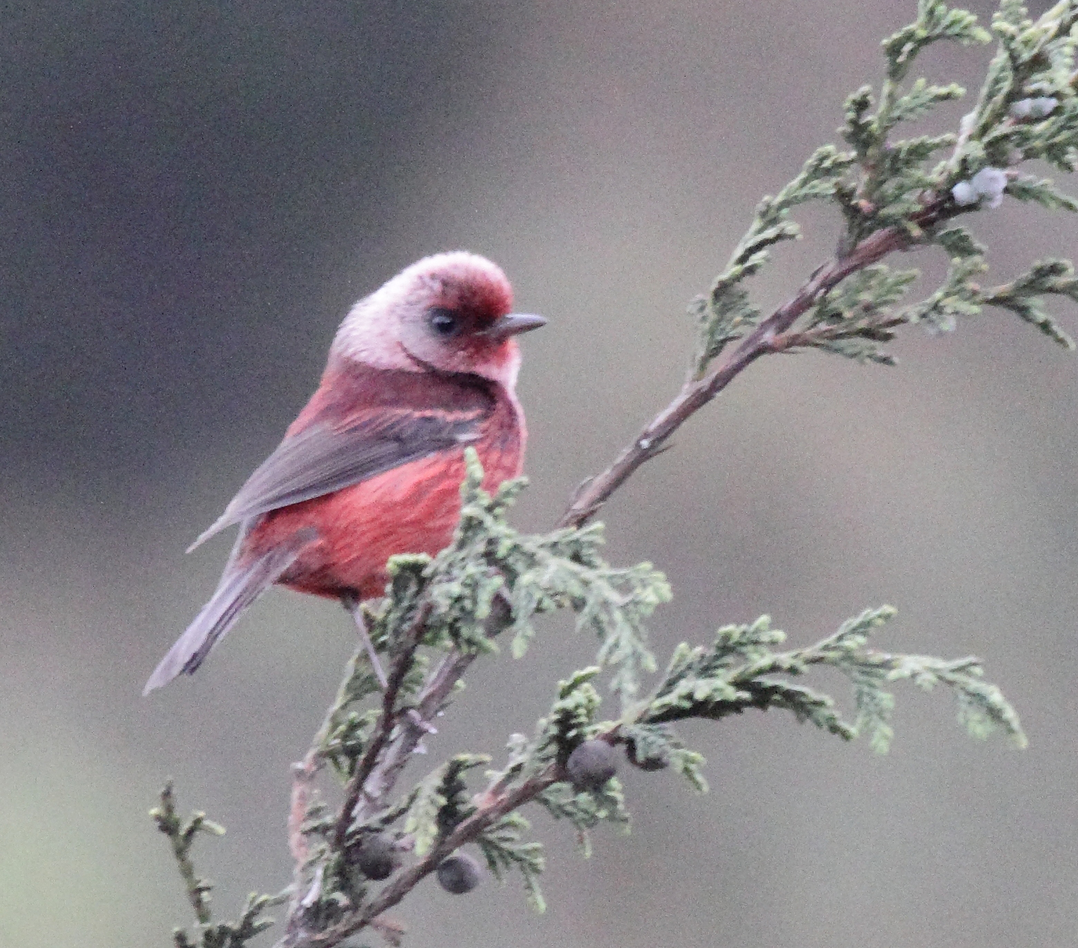 Pink-headed_Warbler_Dominic_Sherony