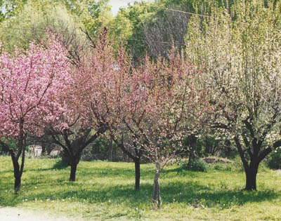 orchard_Dads_fruit_trees_-_PBH_3