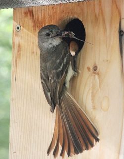 Brown-crested_Flycatcher_Sara_Pikes_box_crop_sm_Kendall_Kroesen